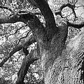 Live Oak by Waverley Dixon