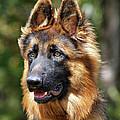 Long Coated German Shepherd Dog Print by Sandy Keeton