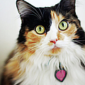 Long Haired Calico Cat by Genevieve Morrison
