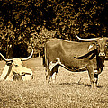 Longhorn Cows Rsting In Monochrome by M K  Miller