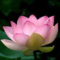 Lotus Beauty--blushing Dl003 by Gerry Gantt