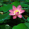 Lotus Flower And Capsule 24a by Gerry Gantt