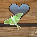 Luna Moth In Love by The Kepharts