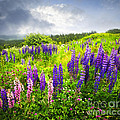 Lupin Flowers In Newfoundland by Elena Elisseeva