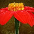 Magenta Zinnia Flower by David Dehner