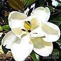Magnolia by Clinton Lundberg