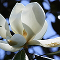 Magnolia In Blue by Carol Groenen