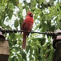 Male Cardinal One by Todd Sherlock