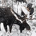 Male Moose Grazing In Snowy Forest by Philippe Henry