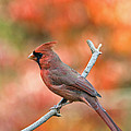 Male Northern Cardinal - D007810 by Daniel Dempster