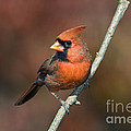 Male Northern Cardinal - D007813 by Daniel Dempster