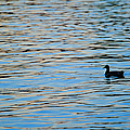 Mallard Duck and Blue Water Print by Marianne Campolongo