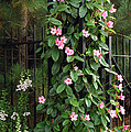 Mandevilla Vine With Pink Flowers by Darlyne A. Murawski