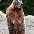 Marmot Rearing Up On Hind Legs In Yellowstone by Trina Dopp Photography