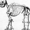 Mastodon Skeleton Drawing by Science Source