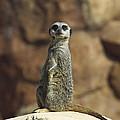 Meerkat Suricata Suricatta Sunning by Konrad Wothe