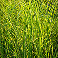 Midwest Prairie Grasses by Steve Gadomski