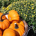 Mini Pumpkins by Kimberly Perry