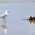 Mirrored Seagull by Kaye Menner