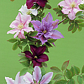 Mixed Clematis Flowers by Archie Young