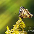 Monarch Butterfly by Carlos Caetano