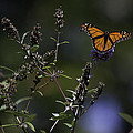 Monarch In Morning Light by Rob Travis