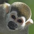 Monkey Face by Danielle Del Prado