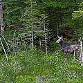 Moose3 by Rich OConnor