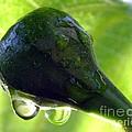 Morning Dew Figs by Karen Wiles