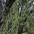 Moss Covered Trees by Garry Gay