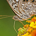 Moth On Flower Clusters by Lisa  Spencer