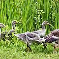 Mother Goose Leading Goslings by Simon Bratt Photography LRPS