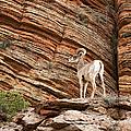 Mountain Goat by Jane Rix