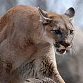 Mountain Lion by Paul Ward