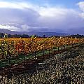 Mumm Napa Vineyard by Richard Leon