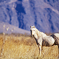 Mustang by Mark Newman and Photo Researchers