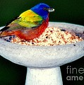 My Painted Bunting Poster by KAREN WILES