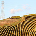 Napa Valley Vineyard . 7d9066 by Wingsdomain Art and Photography