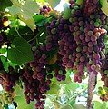 New Wine by Alison Richardson-Douglas