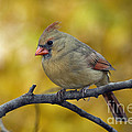 Northern Cardinal Female - D007849-1 by Daniel Dempster
