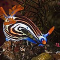 Nudibranch by Matthew Oldfield