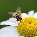 On A Daisy by Laura Melis