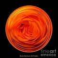 Orange Apricot Rose Under Glass