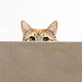 Orange Cat Peeping Out From Cardboard Box by Kevin Steele