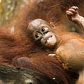 Orangutan Pongo Pygmaeus.  Juvenile by Tim Laman