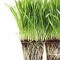 Organic Wheat Grass On White by Sandra Cunningham