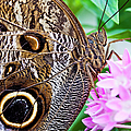 Owl Butterfly by Daniel Osterkamp