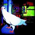 Owl Pigeon by YoMamaBird Rhonda