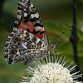 Painted Lady Butterfly Din049 by Gerry Gantt