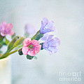Pale pink and purple Pulmonaria flowers Print by Lyn Randle